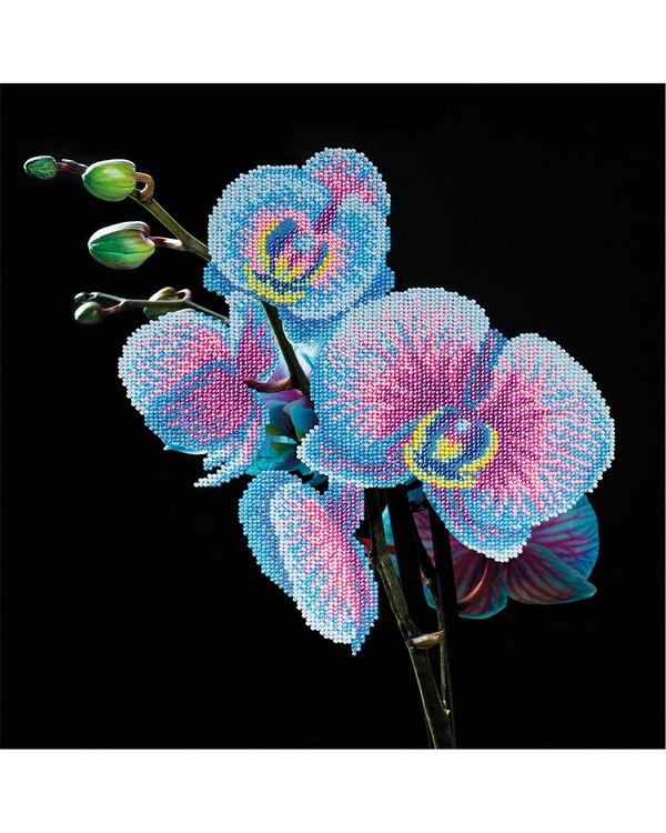 Helmikirjonta Sininen orkidea